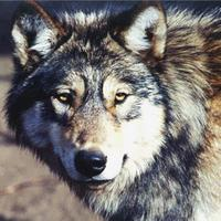 wolfy1's avatar